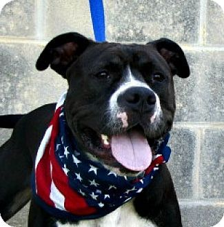 11 04 16 Sl American Bulldog Dog For Adoption In Lake Jackson