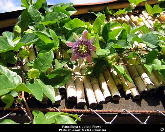 Erowid Plants Vaults Images Passiflora X Belotii Plants Passiflora Psychoactive Plants