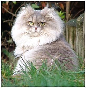 British Longhair Cat Blue Cream Golden Spotted Russian Blue Cat Blue Cats Russian Blue