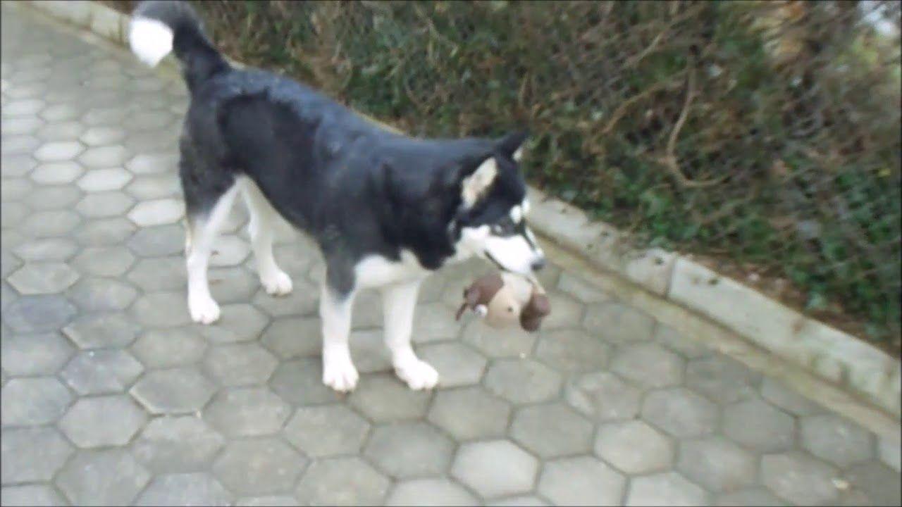 Alaskan Malamute Playing Outside With A Fluffy Toy Alaskan