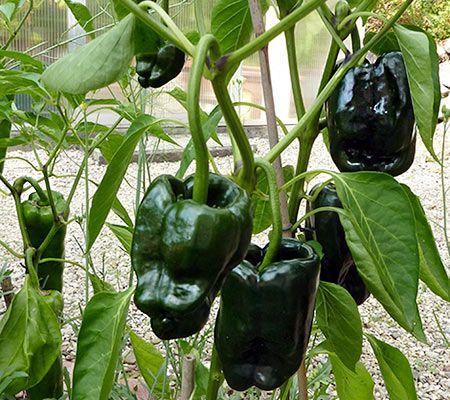poblano pflanze im heimischen garten mein balkon pinterest chili chili pflanzen und gem se. Black Bedroom Furniture Sets. Home Design Ideas