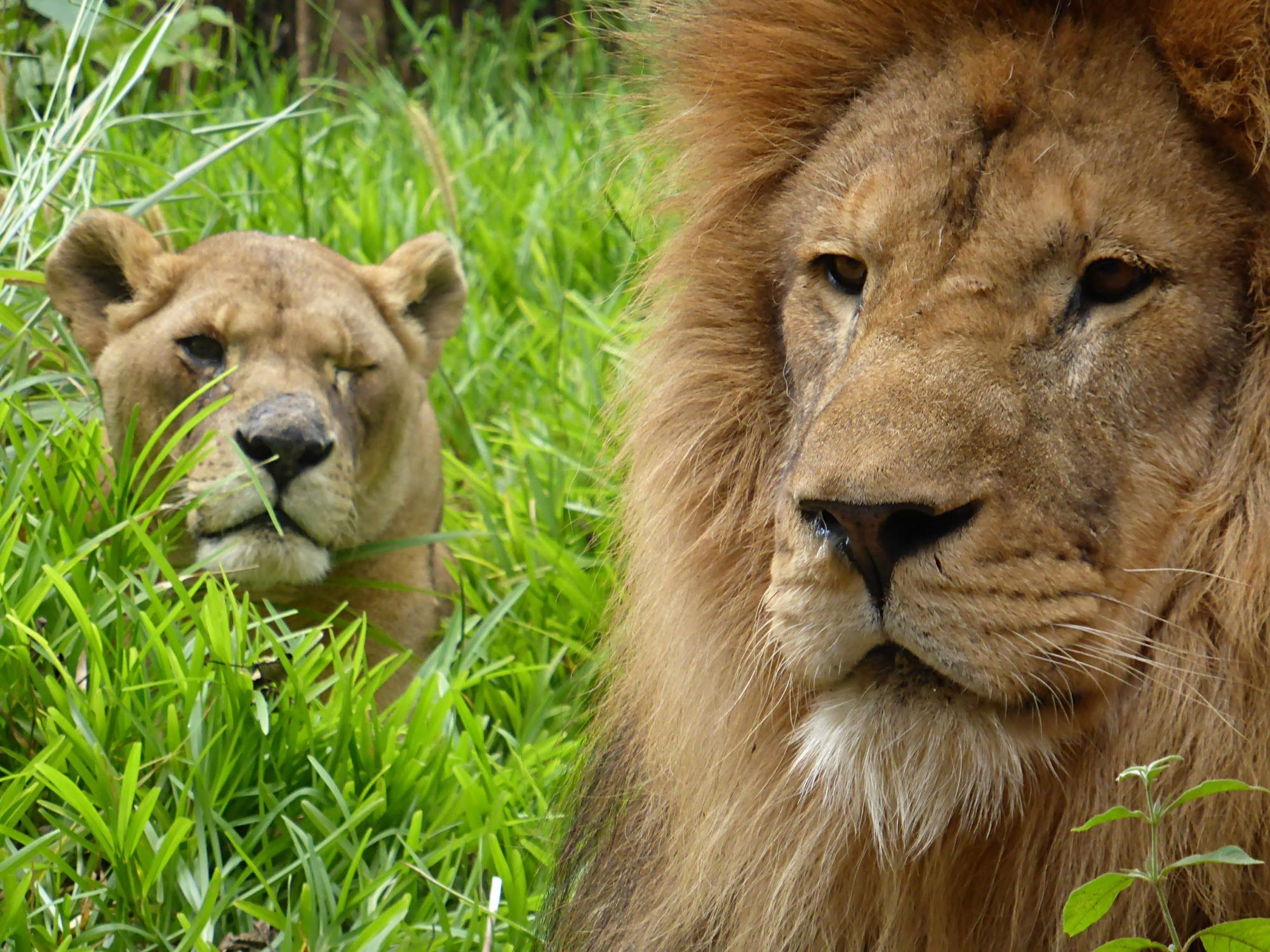 """Former Circus Lion Falls In Love With Rescued Lioness """"He"""