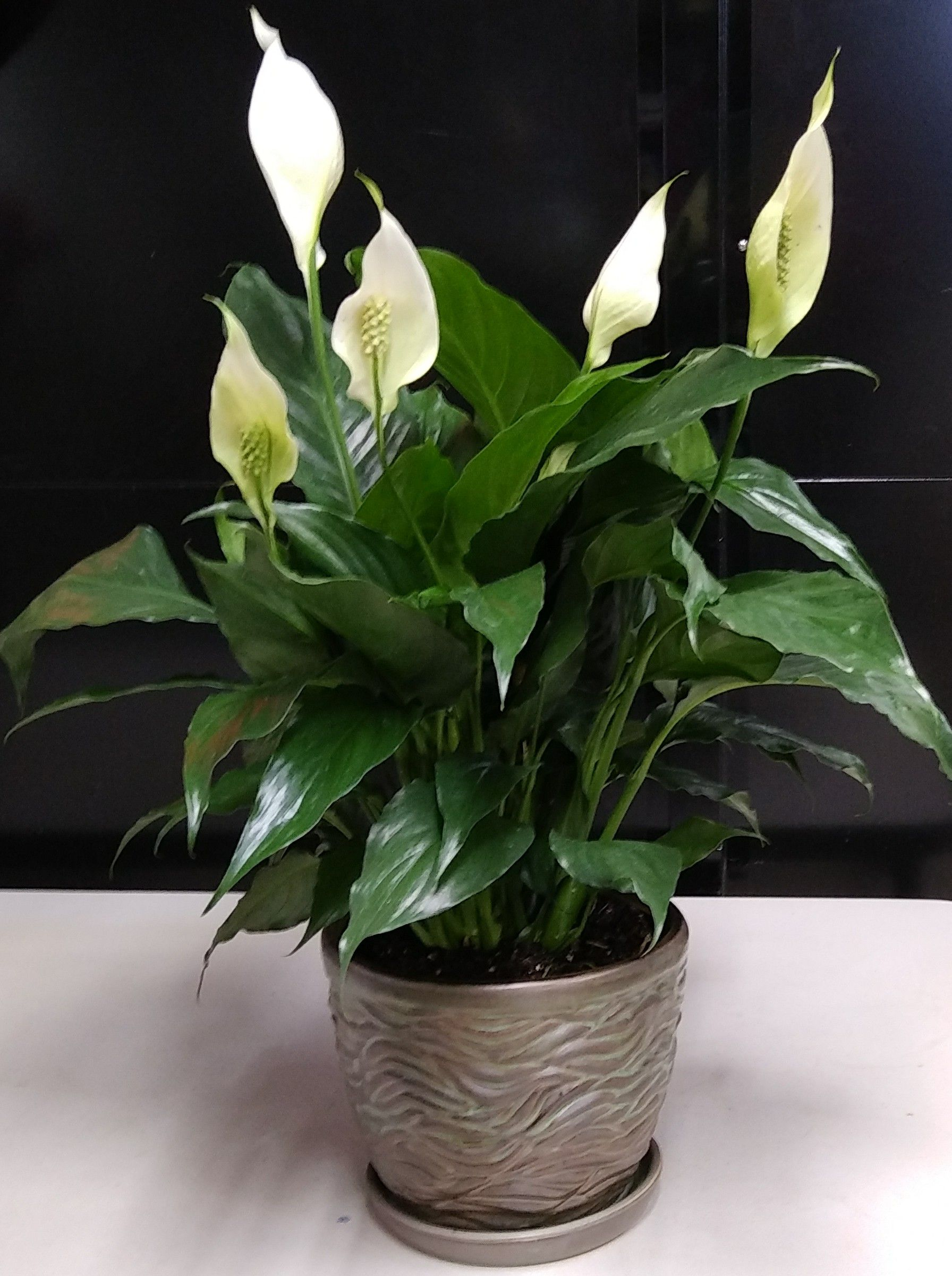 Classic Peace Lily Peace lily, Sympathy plants, Easy
