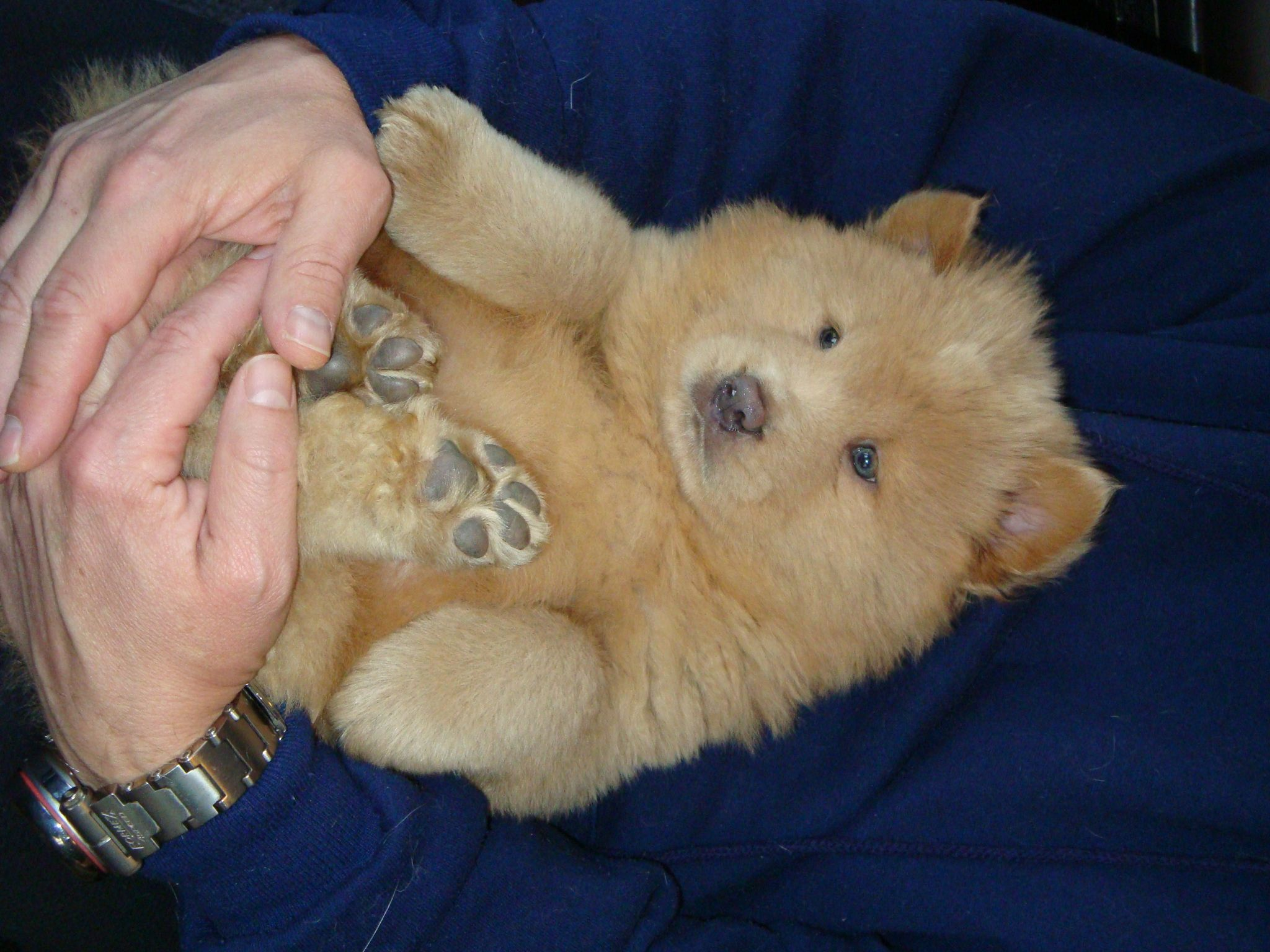 Chrysalis The Chow Chow Www Keithandshannonfrench Com Boo The