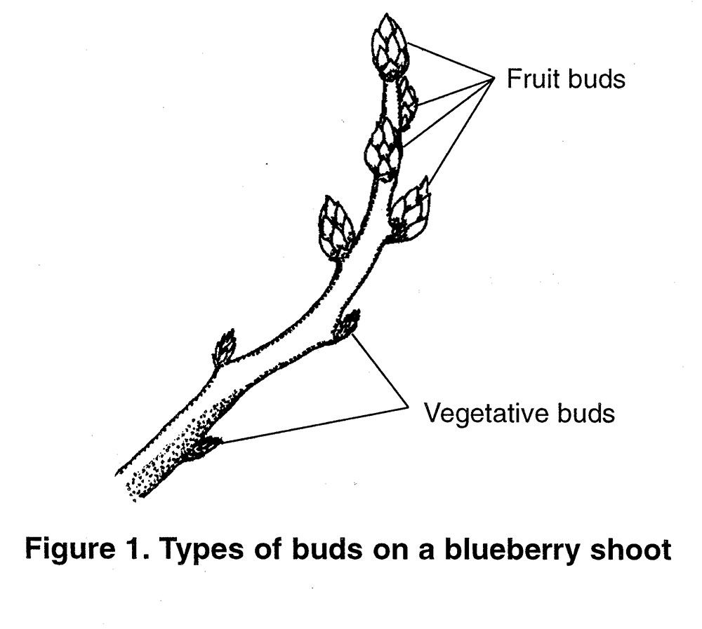 When to prune blueberries  Figure  Fruit and vegetative buds on a blueberry shoot