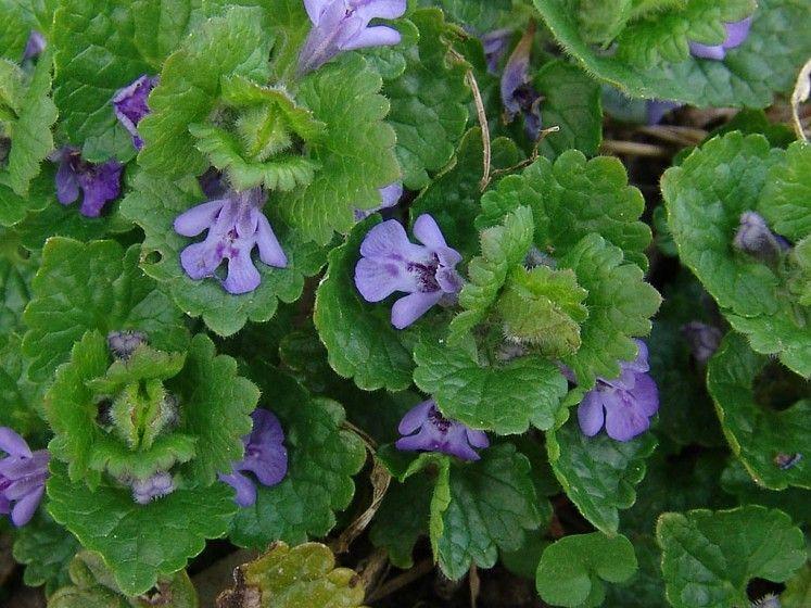 Zadušnik brečtanovity 9 liečivých rastlín, ktoré rastú vmáji