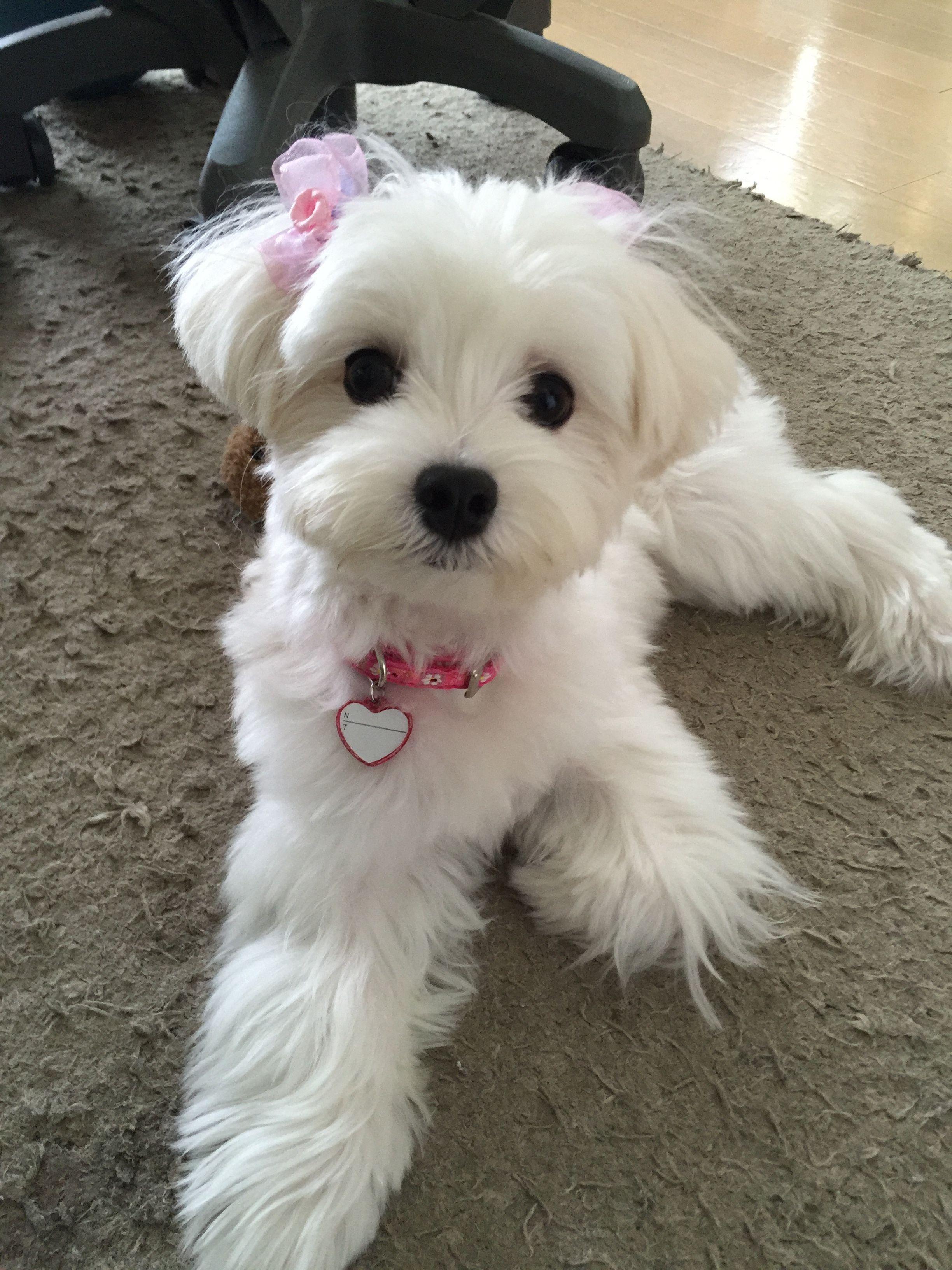 Beautiful Maltese Maltese Dogs Maltese Puppy Maltese Haircut