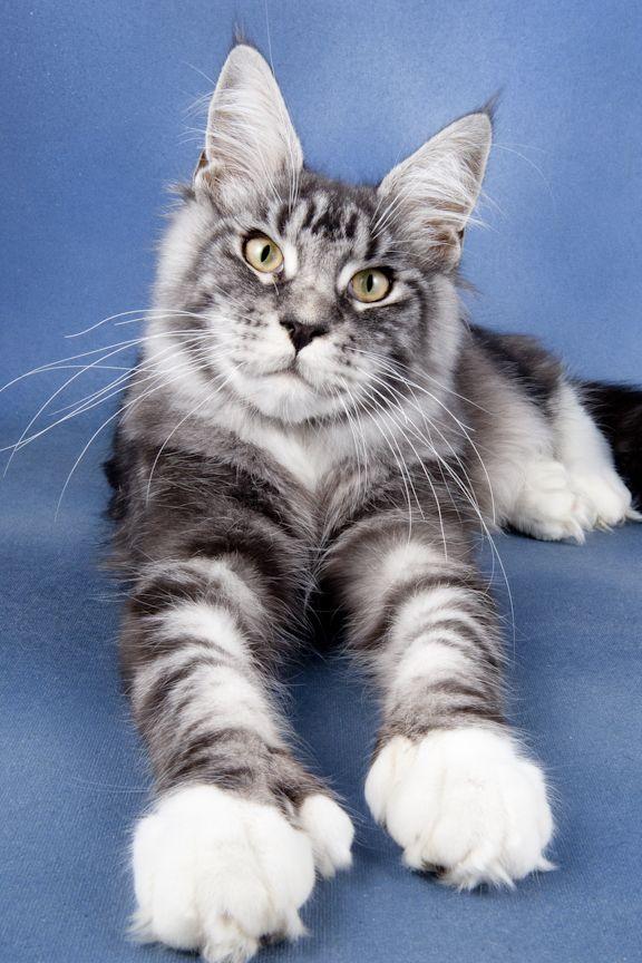 фото породы кошек мэйкун