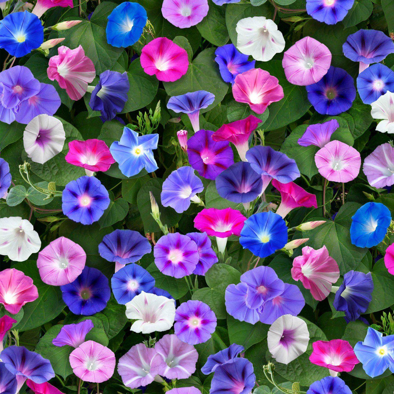 Landscape Medley Morning Glories Floral Elizabeth S Studio 6960 Morning Glory Flowers Garden Vines Beautiful Flowers