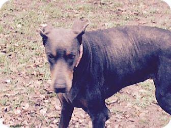Houston Tx Doberman Pinscher Meet Dreamer A Dog For Adoption