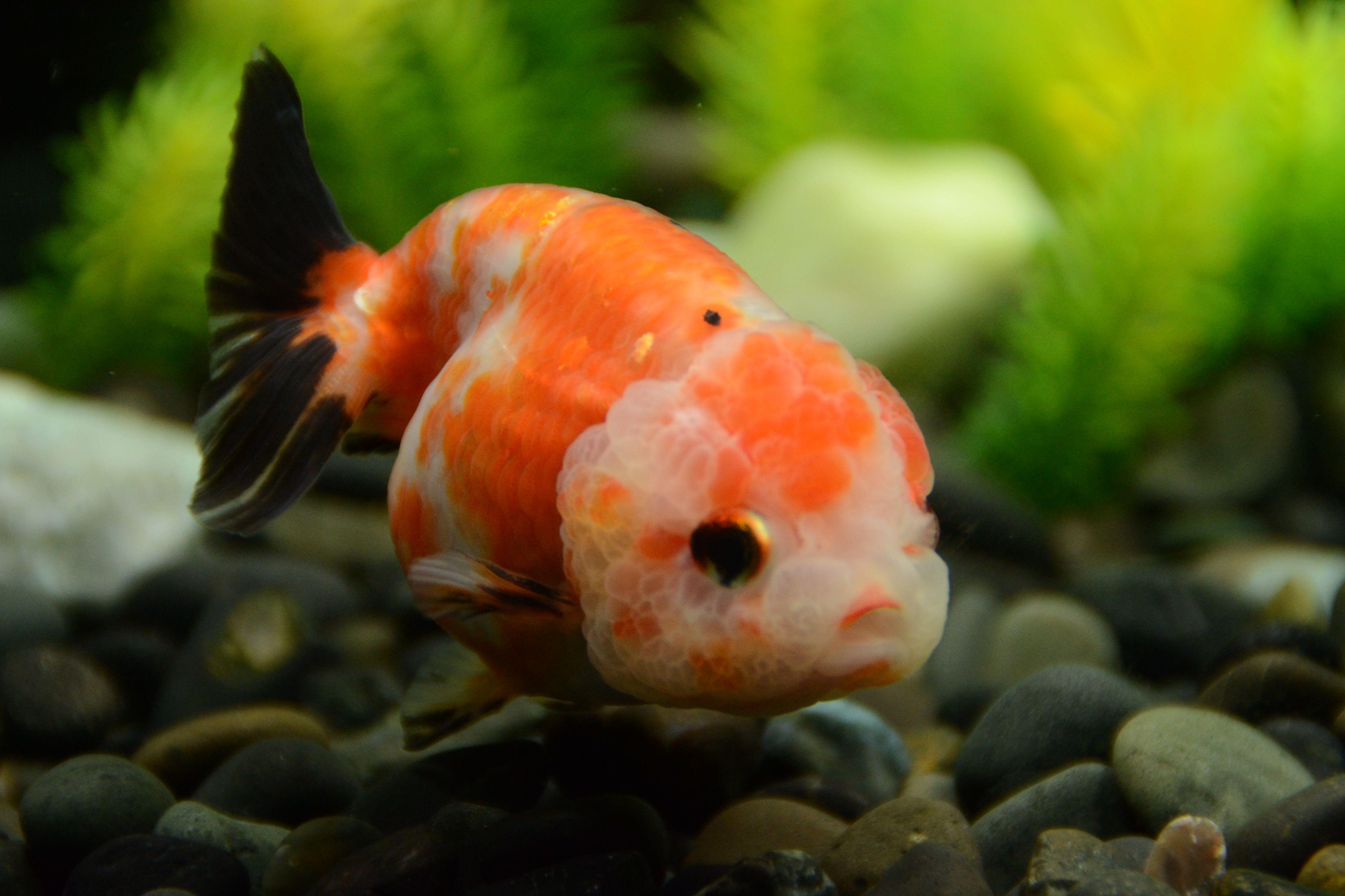Tri Color Ranchu Goldfish Buygoldfishonline Com Goldfish Goldfish Aquarium Buy Goldfish