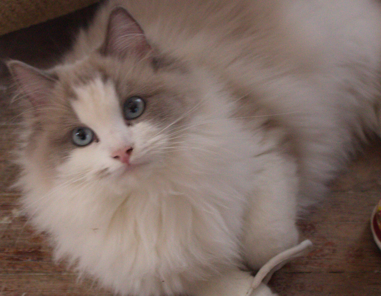Rag Doll Kitten So Cute Ragdoll Cat I Love Cats Cats
