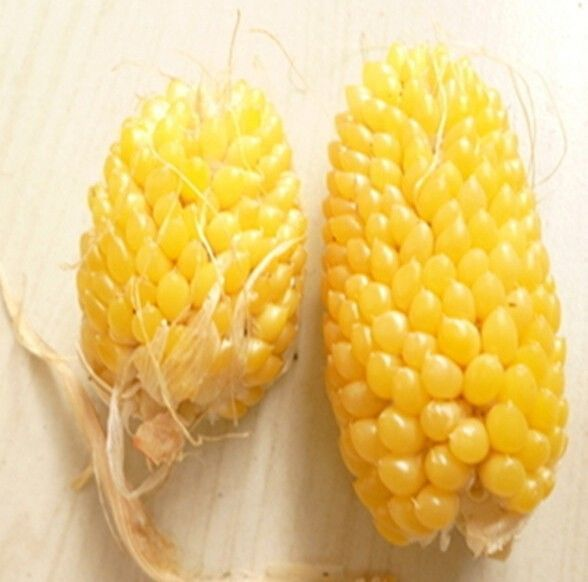 FD950 Pineapple Corn Seeds Heirloom Vegetable Seed Popcorn Organic Non-GM 10PC