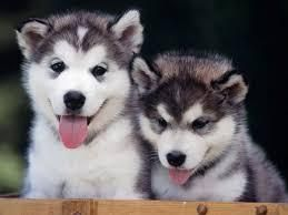 Adorable Siberian Husky Puppies Ready For Adoption Free