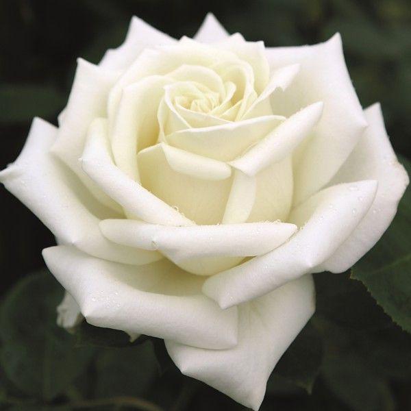 Polarstern  Flower  Rosen tantau Rosen und Blumen