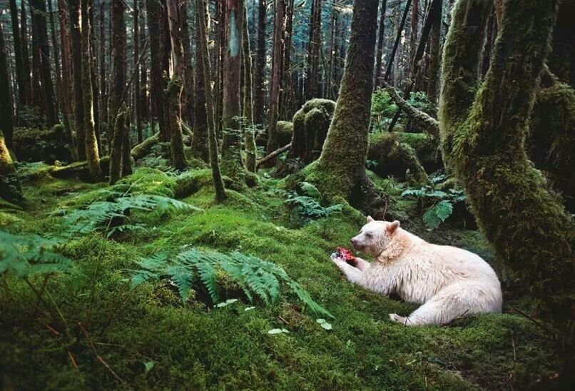 Paul Nicken's - Spirit Bear