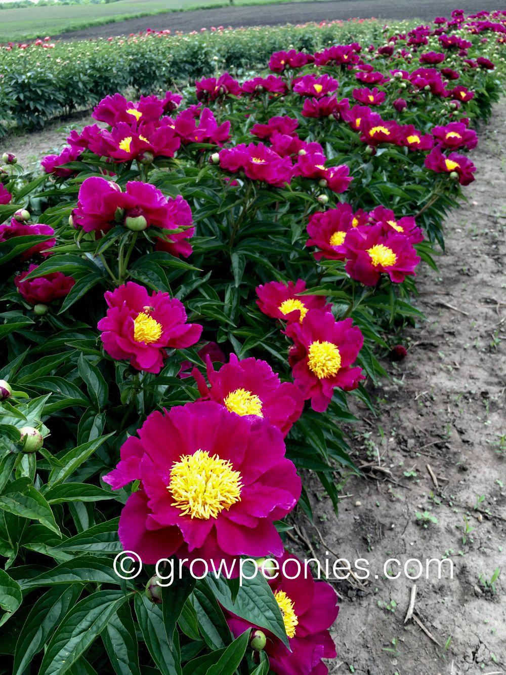 Seedling 2434 Peony Peonies Buy Peonies Bloom
