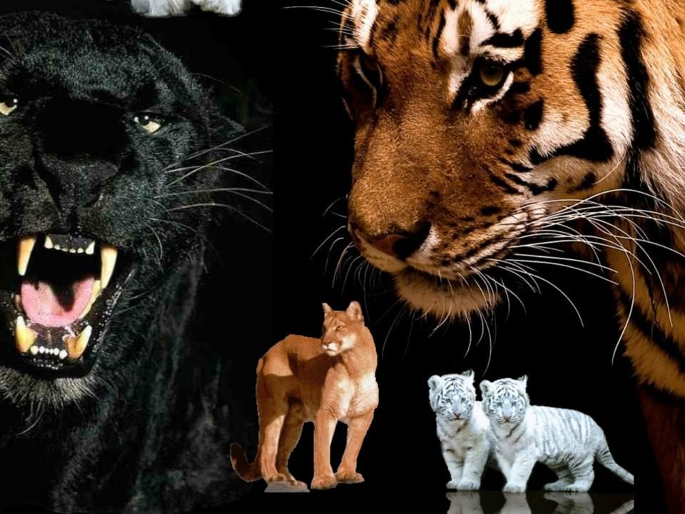 Картинки хищных кошек пантер львов тигров картинки тегом