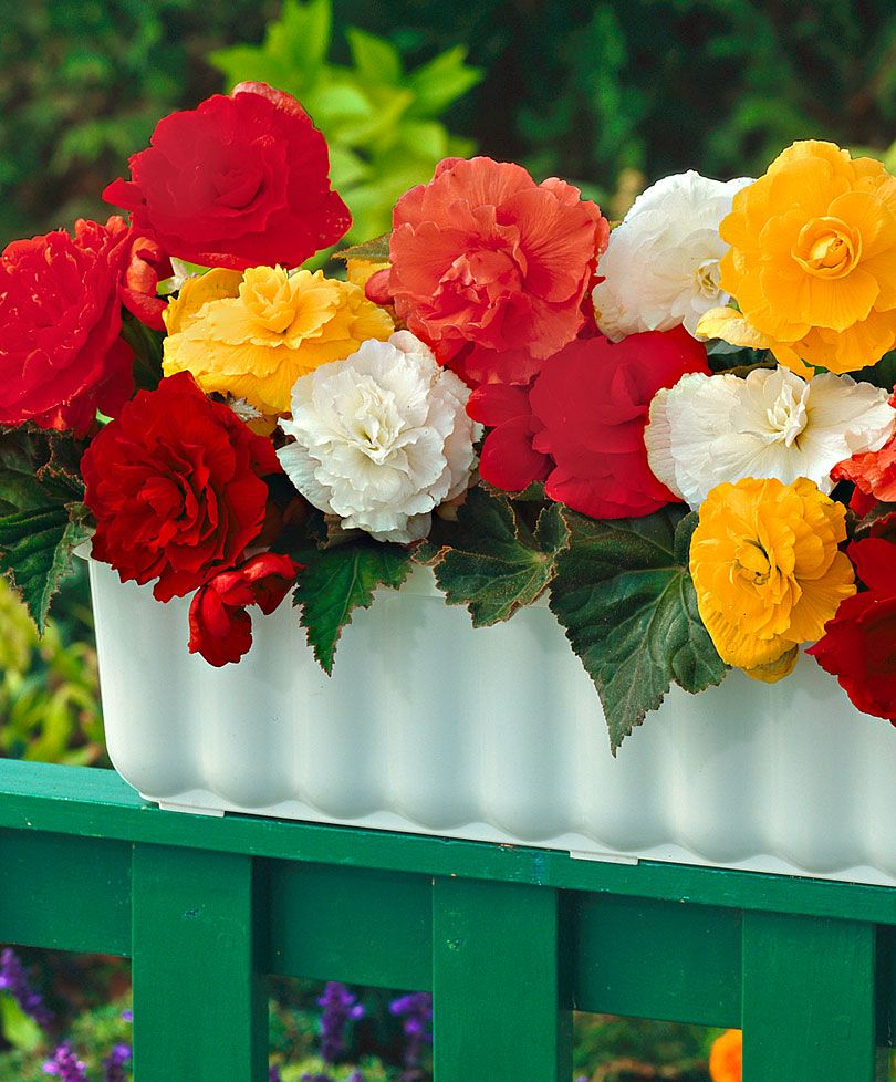 Double Begonias In 4 Colours Begonia Flower Pots Flowers
