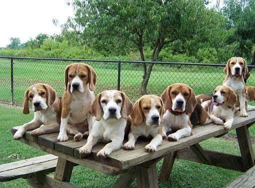 108 Facebook Beagle Puppy Beagle Dog Cute Beagles