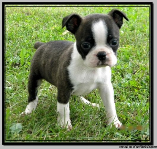 boston terrier cost ckc toy boston terrier puppies ready to go price 2605