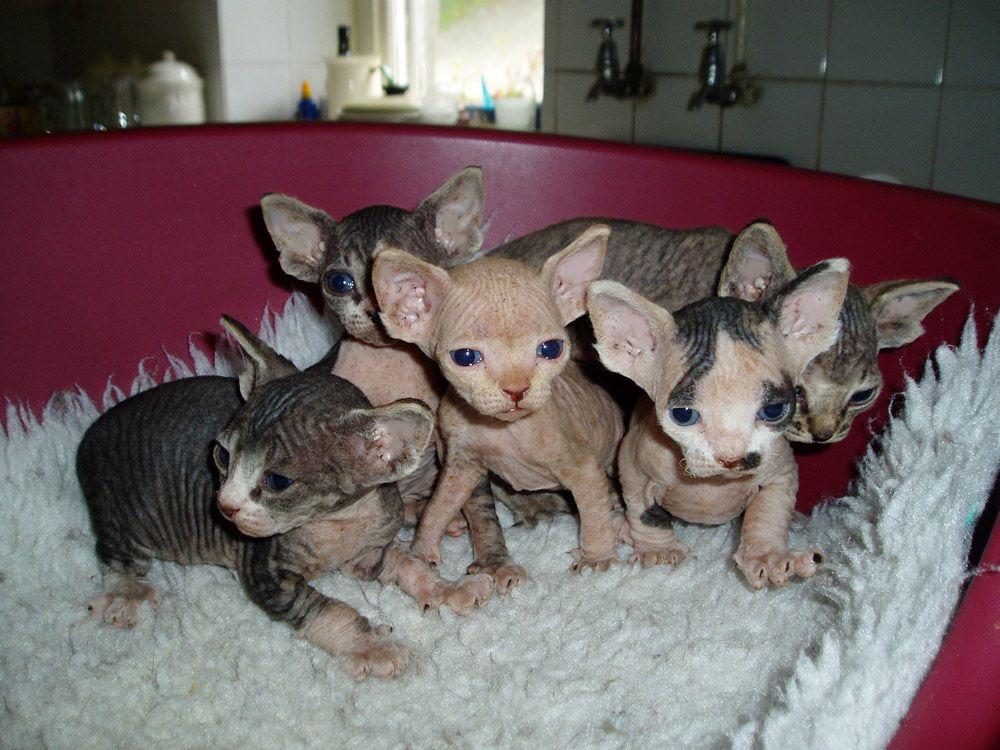 sphynx cat Sphynx Kittens and Cats Stoney Hill Sphynx