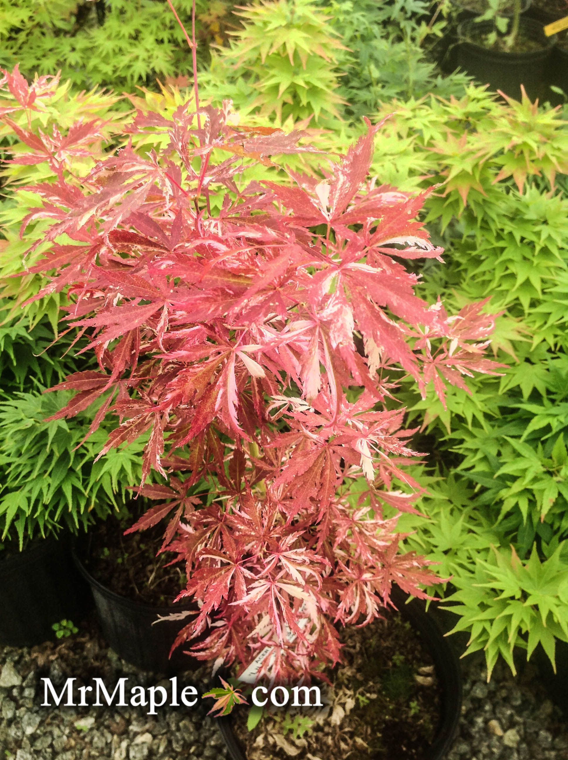 How to care for a fern leaf japanese maple - Acer Palmatum Lileeannes Jewel Is A Beautiful Variegated Japanese Maple This Read And Pink Japanese