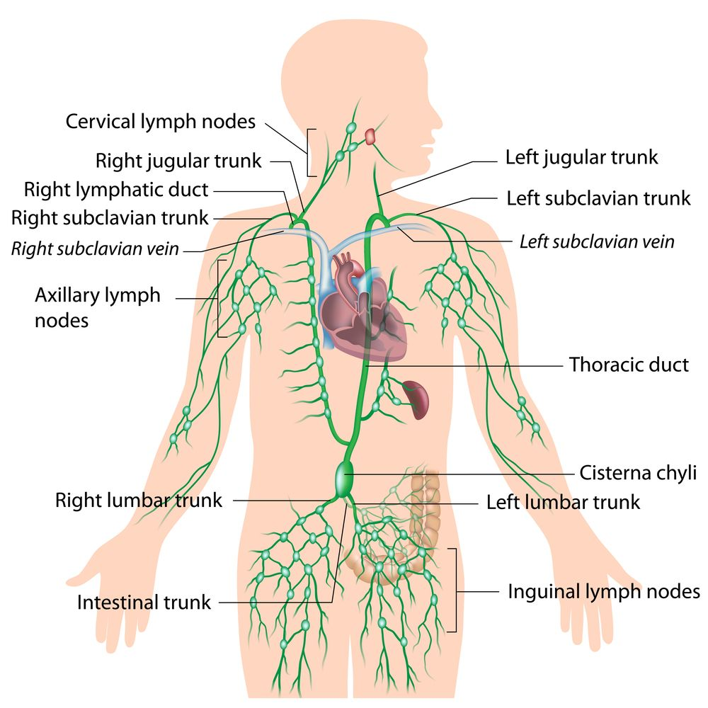 hight resolution of diagram of the lymphatic system without missing link via alila medical media