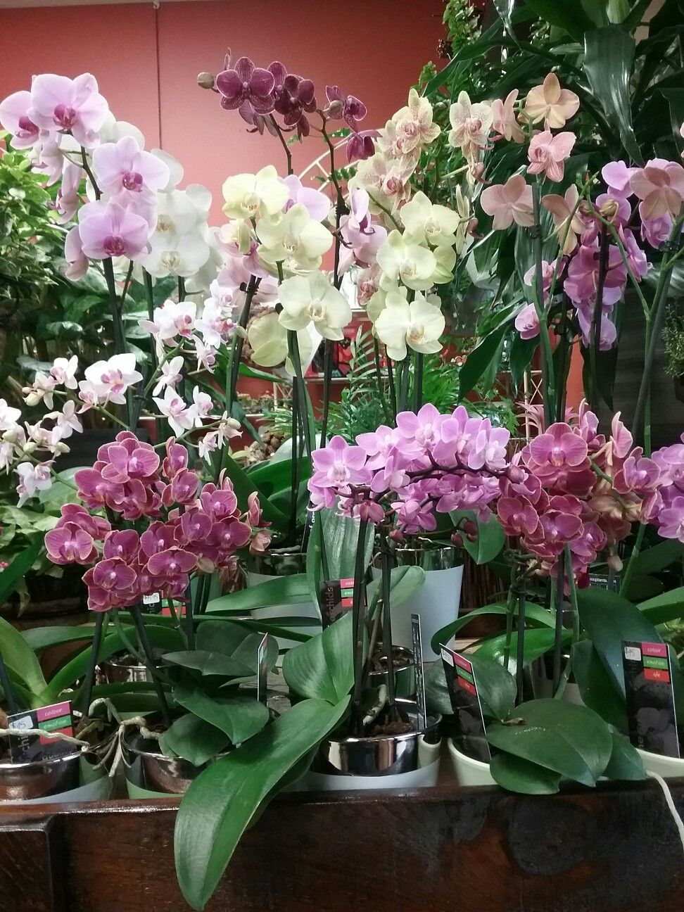 Multiflora and phalaenopsis orchids inside the shop pinterest