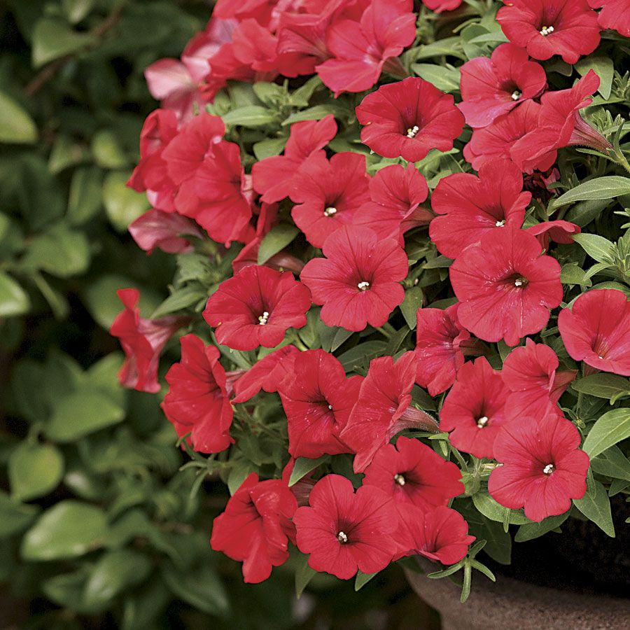 Surfinia Deep Red Petunia Pack Of 6 From Park Seed Petunias