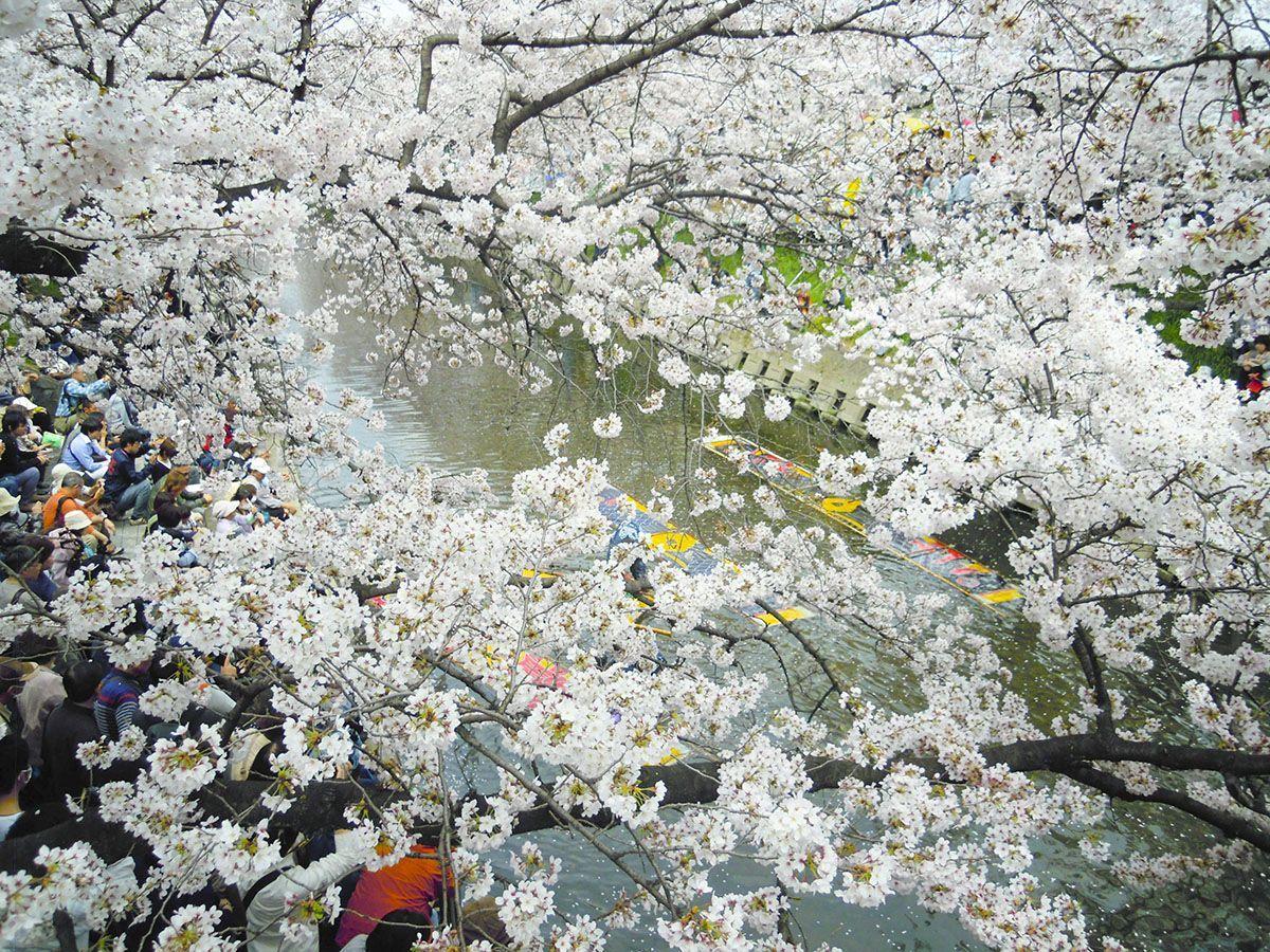 O Destaque Do Iwakura Cherry Blossom Festival E Um Arco Criado Por Cerca De 1 400 Arvores De Cerejeiras Que Fora Cherry Blossom Festival Blossom Blossom Trees