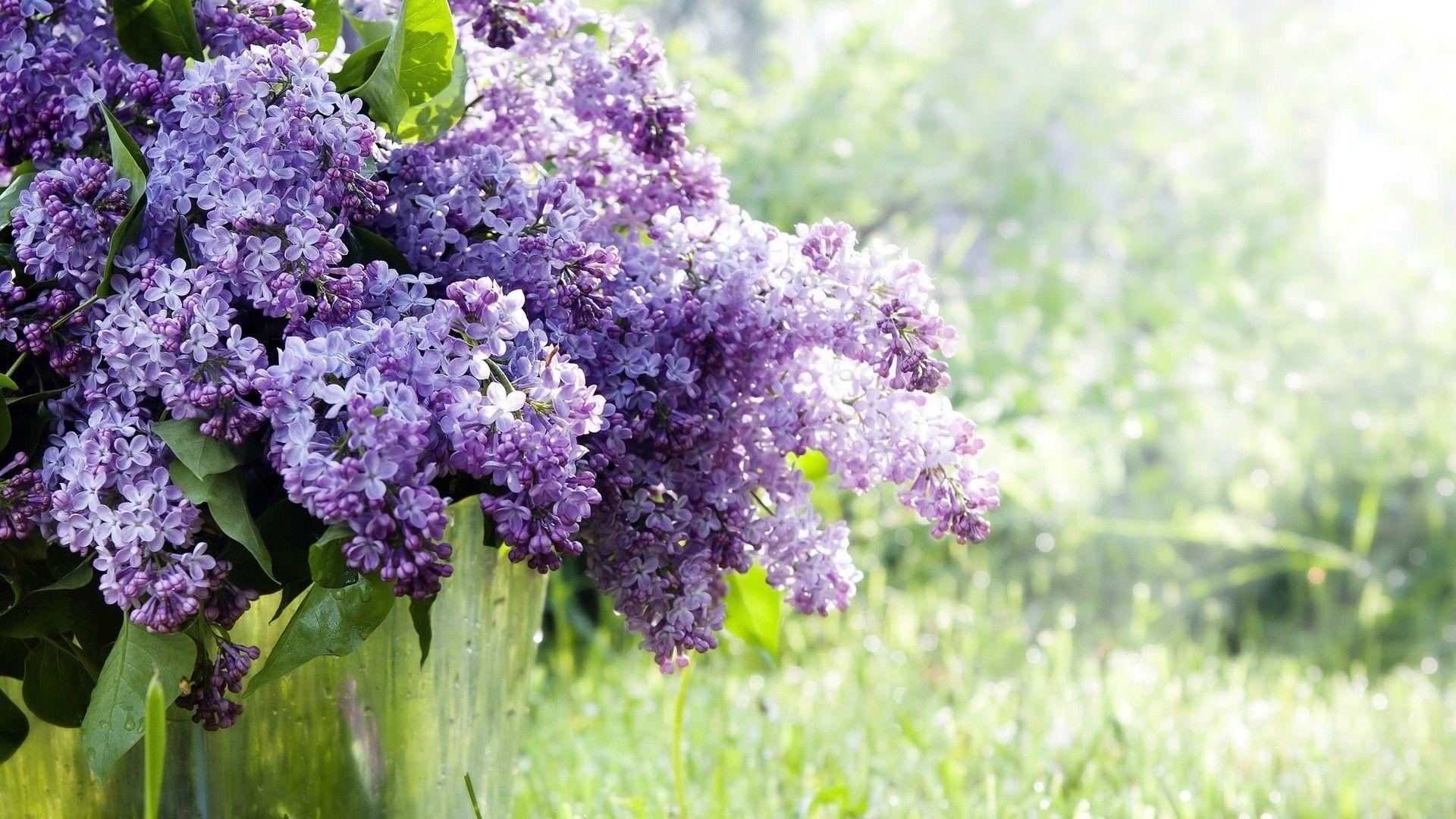 Purple Acacia Flower Wallpaper Flower Wallpaper Purple Trees Flowers