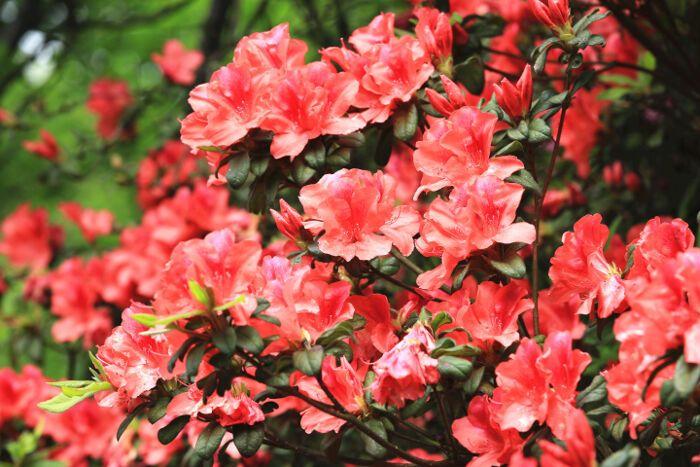 Flores Da Azalea Azalea Flower Flower Meanings Birth Flowers