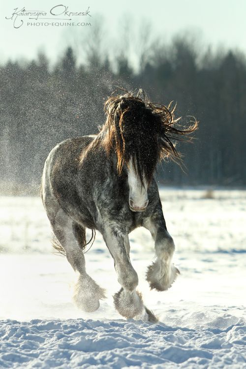 Andalusians: Clydesdales. Dashing through the snow!