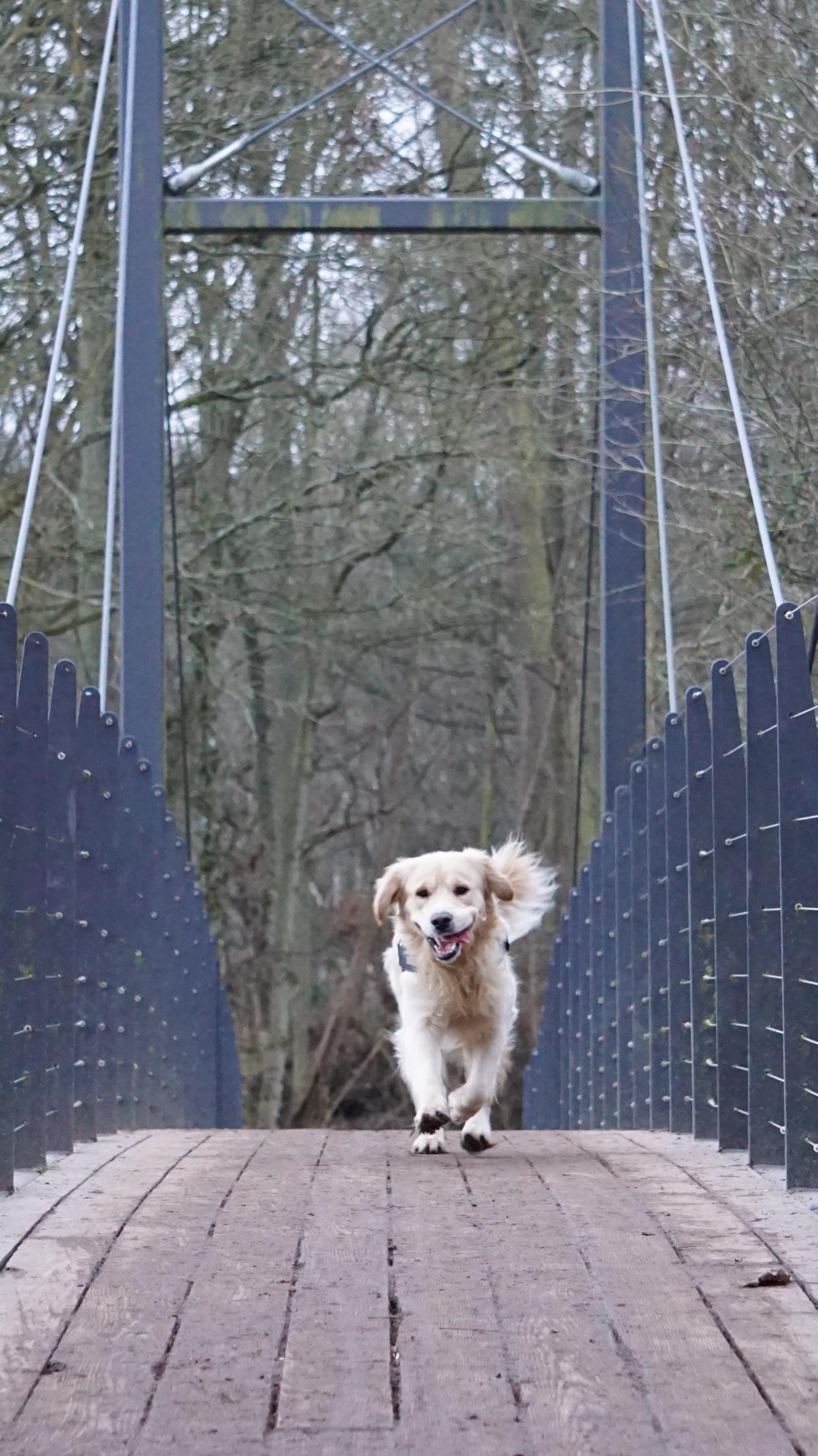 Oh My God A Bridge Dog Love Dog Love Dogs Great Pyrenees