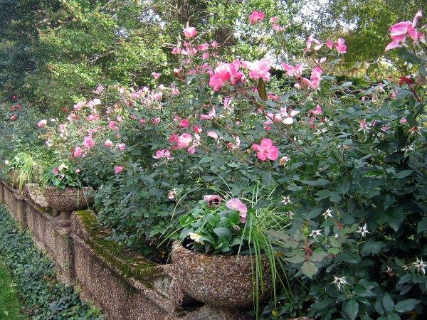 Pruning Knock Out Rose When Why And How Knockout Roses Pruning Knockout Roses Garden Shrubs