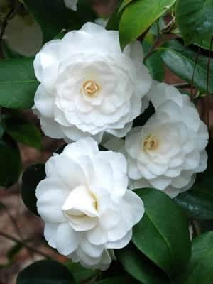 Camellia White By The Gate Shrubs Camellia Flower Flowers Shrubs For Sale