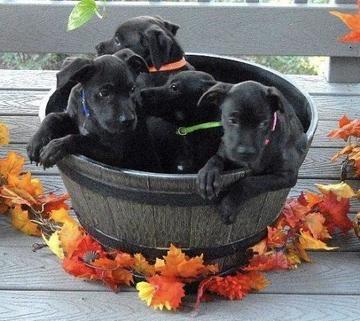 Popular Labrador Retriever Black Adorable Dog - f2347961a2eb3554d7d0e7009e950656  Pic_33913  .jpg