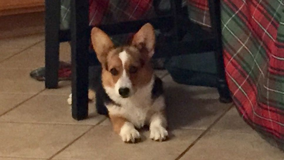 Shiloh 4 1 2 Months Old Red Headed Tri Color Girl Corgi Animals