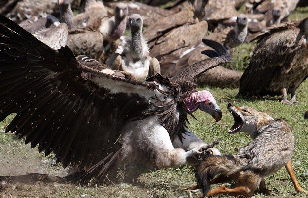The picture above shows a fox and a vulture competing for food.