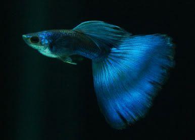 Electric Moscow Blue Guppy Fish Guppy Aquarium Fish