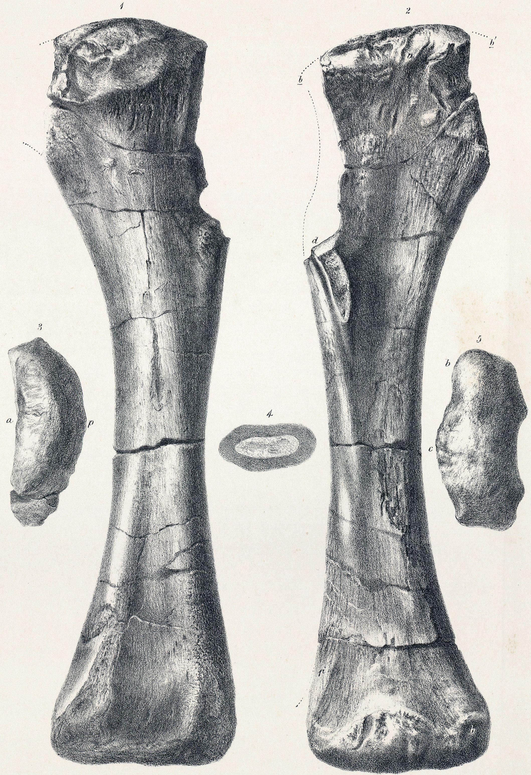 Holotype de l'humérus du dinosaure Sauropodomorpha Titanosauriformes Brachiosauridae Pelorosaurus conybearii. Auteur : Jos Dinkel. 1800