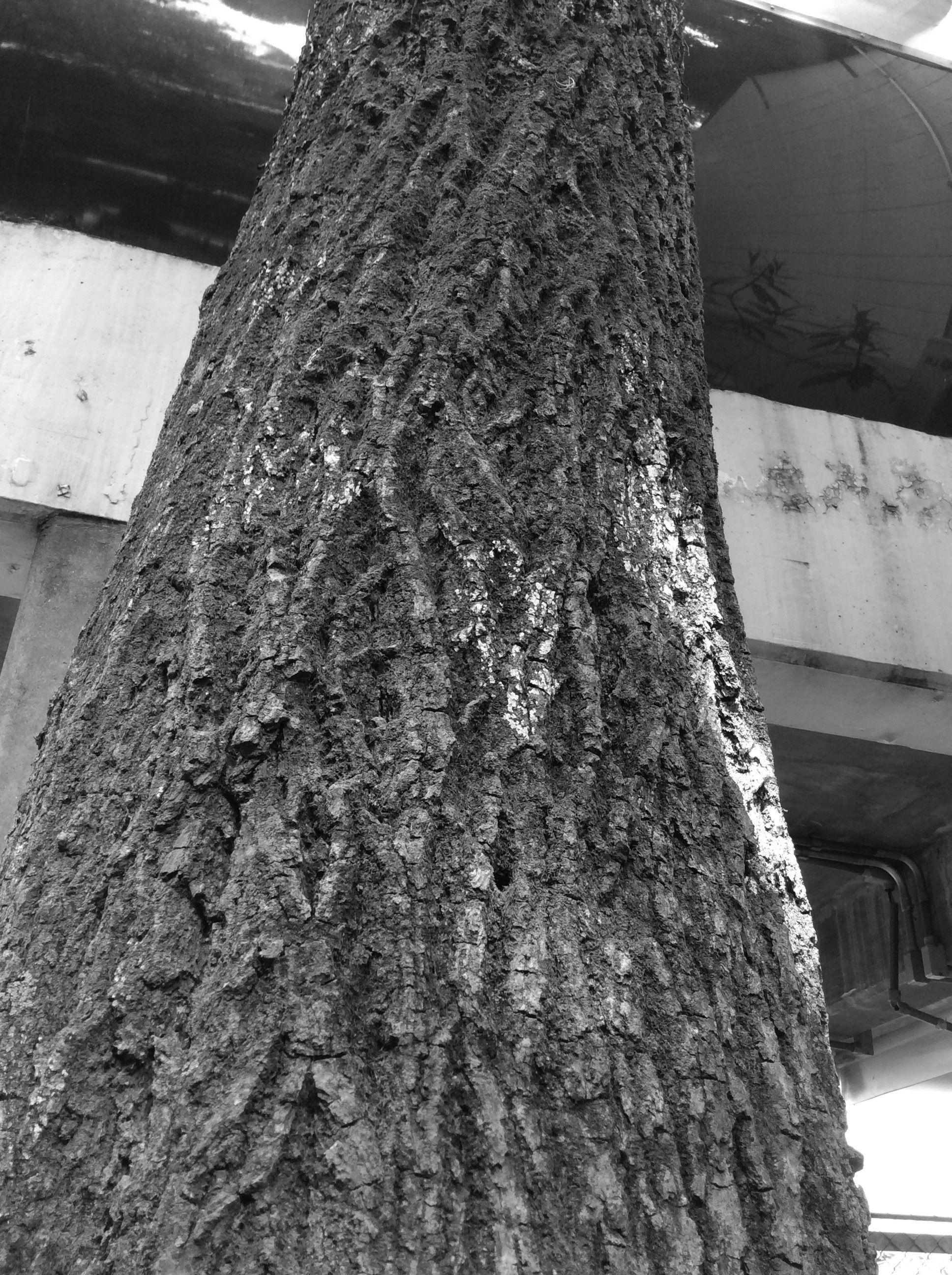 Coisa velha Eu escolhi entre as minhas outras fotos esta ,pois o angulo nessa imagem esta muito bem definido fazendo parcer com que a arvore se prolongasse e ficasse maior, essa imagem também tem uma coloração interessante com o verde do musgo nela, o marrom no tronco, a iluminação do sol sob ela entre outras coisa. Dante
