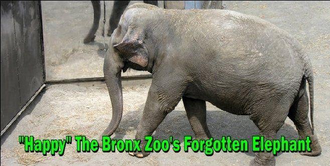 Happy The Bronx Zoo S Forgotten Elephant Wildlife Planet Animal