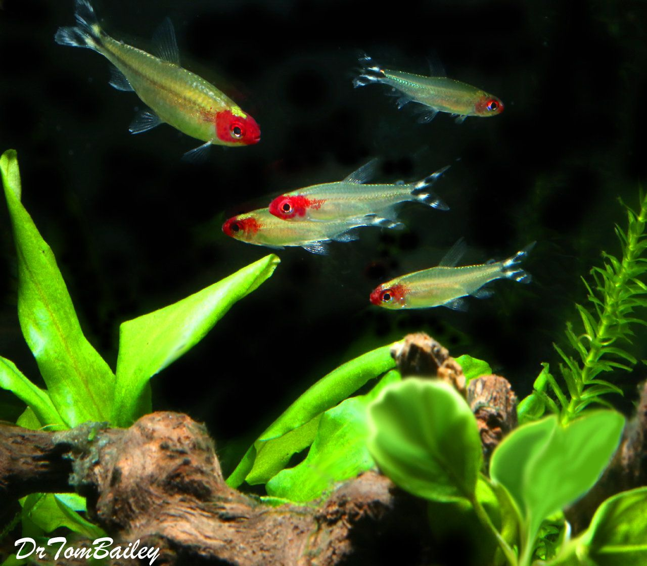 Premium Tank Raised Rummy Nose Tetra 1 To 1 2 Long Tank Raised Aquarium Fish Goldfish For Sale Betta Fish
