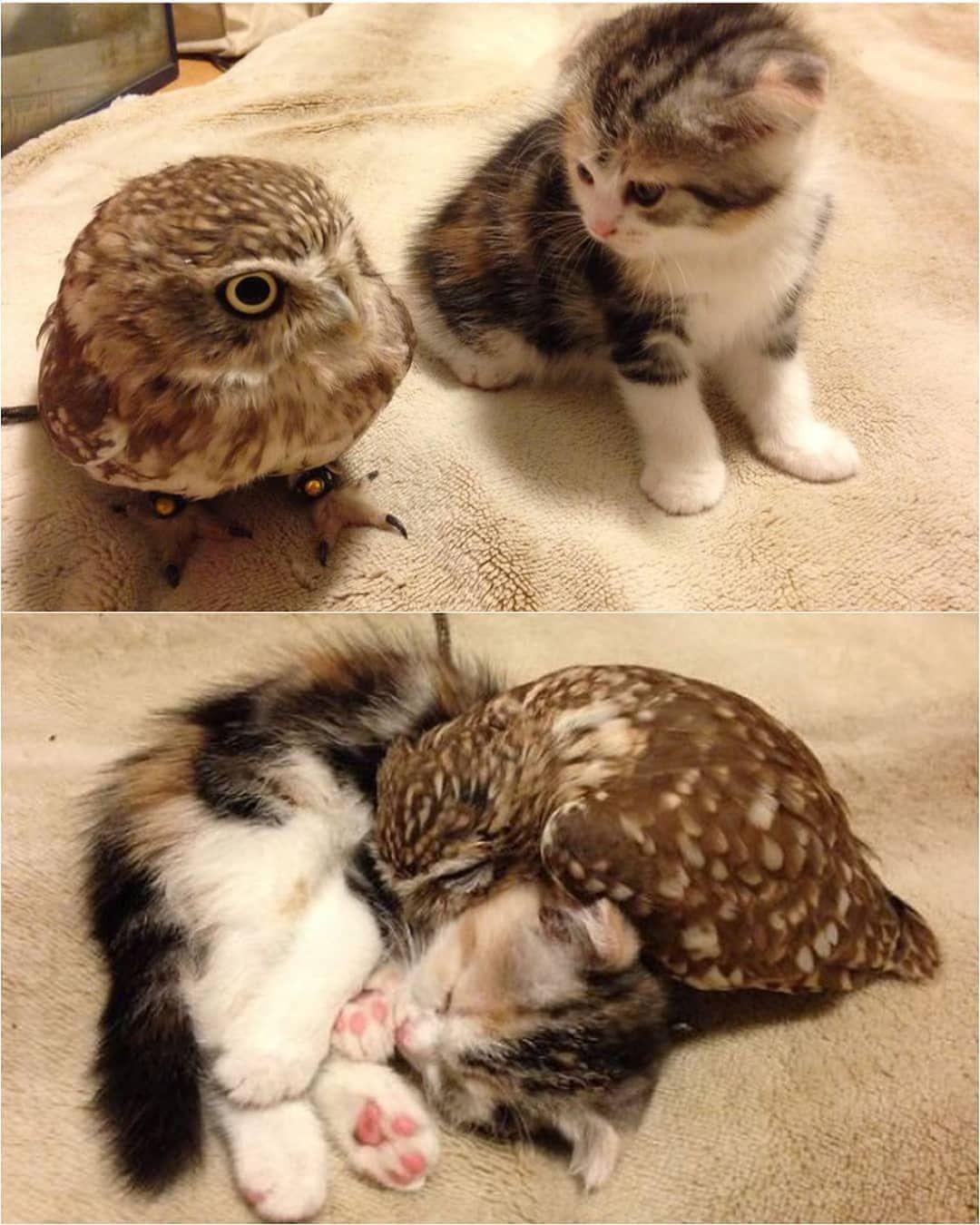 Animal On Planet On Instagram Baby Owl Has A New Cousin Photo By Hukumari296 Tag Animalonplanet For A F Roliga Djurbilder Sotaste Djuren Kattungar