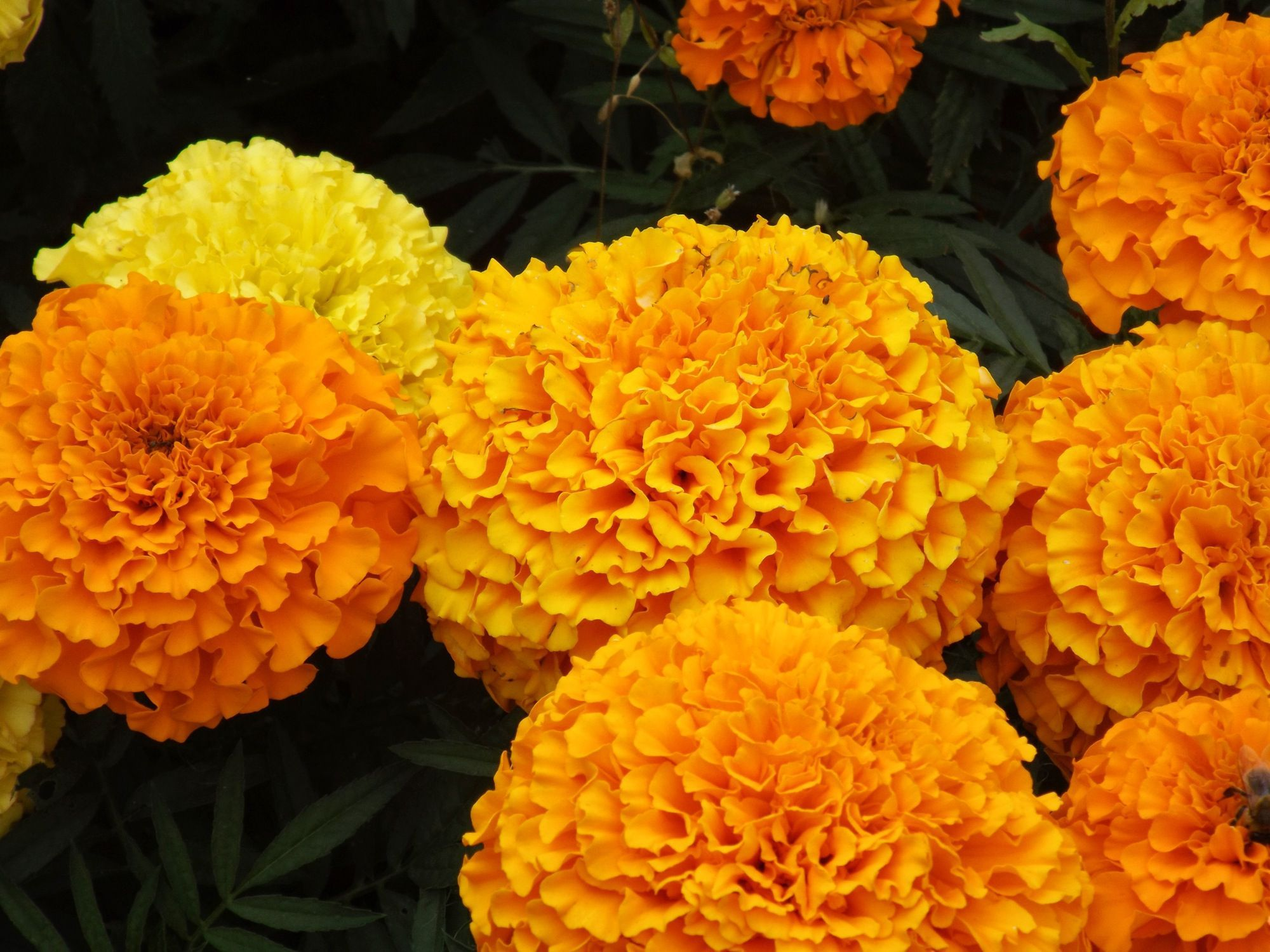 Grow the classic marigold plant marigold plants and organic gardening grow the classic marigold plant annual flowersoutdoor izmirmasajfo Image collections