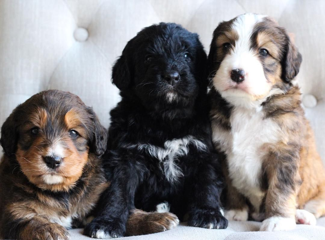 Bernadoodle puppies poodle mix dogs bernadoodle puppy