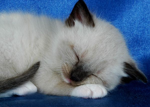 Precious Blue Gem Ragdoll Kitten (Blue Gem is the name of