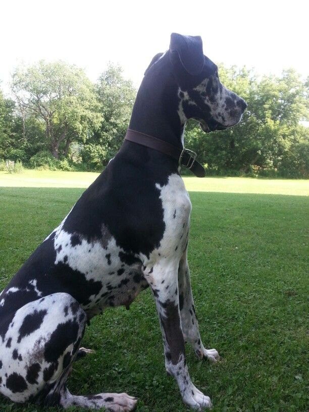 Brindlequin Great Dane Great Dane Great Dane Dogs Great Dane